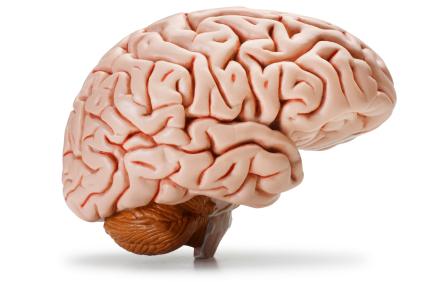 Brain Model.